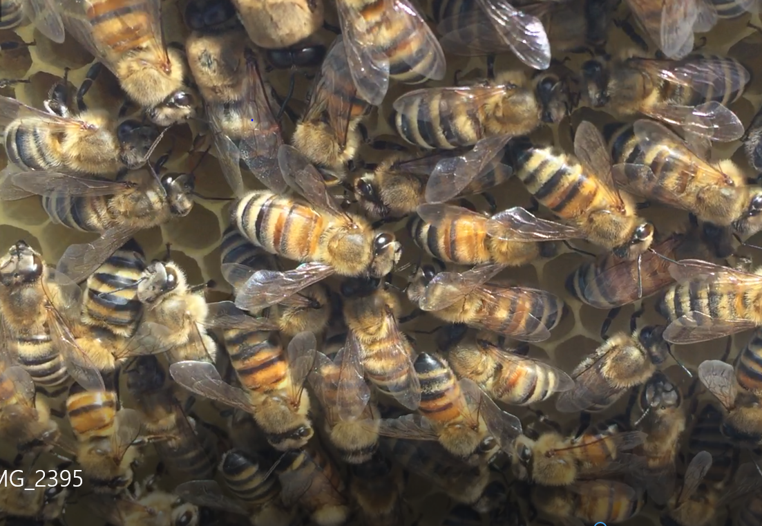 image showing a cluster of honey bees on a frame