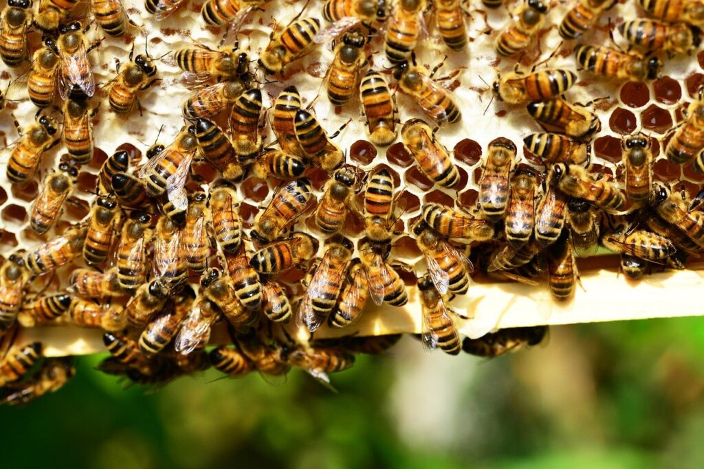 image showing honey bees on a frame